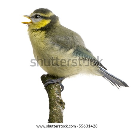 Blue Tit, 23 days old, perching on branch against white background - stock photo