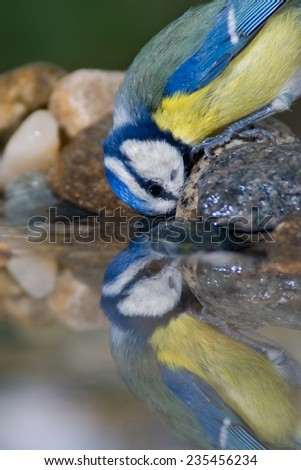 Blue tit drinking water and reflection - stock photo