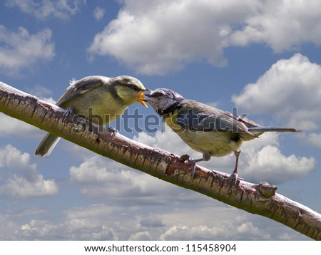Blue tit feeding young on a branch - stock photo