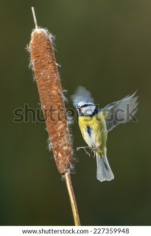 Blue tit in flight - stock photo