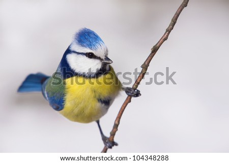 blue tit in the winter time - stock photo