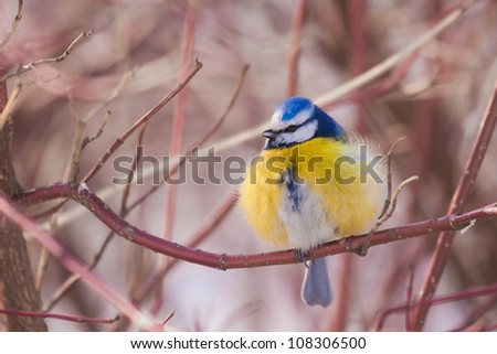 Blue tit, little bird - stock photo