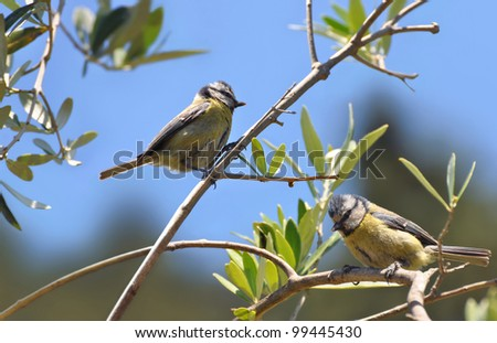 Blue tit male and female in an olive tree - stock photo
