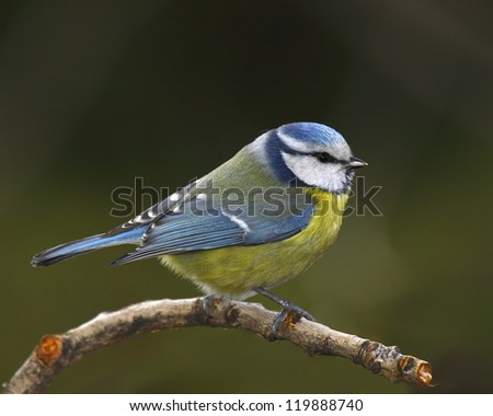 Blue tit on a autumnal branch - stock photo