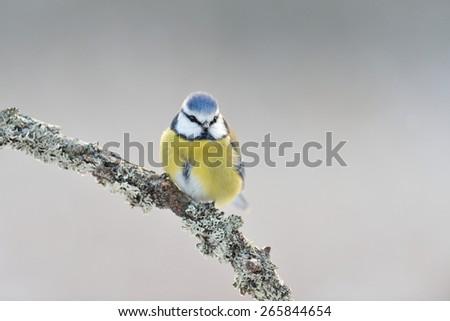 Blue tit on a branch - stock photo