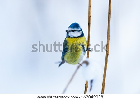 Blue Tit on a grass straw - stock photo