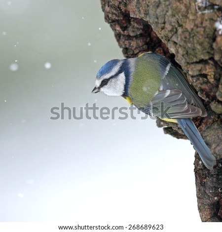 Blue tit on a hollow  trunk in snowfall