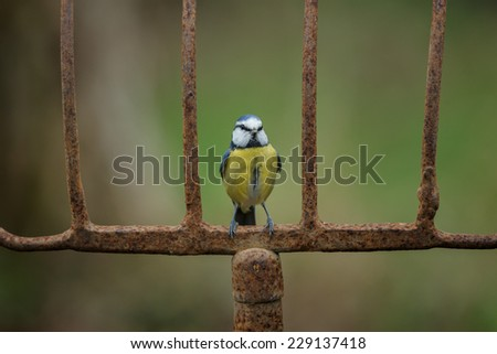 Blue tit on a old rusty agricultural fork - stock photo