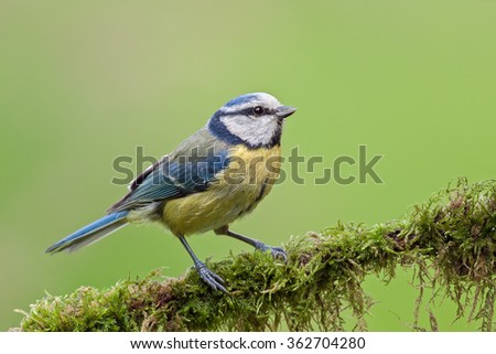 Blue tit on a twig with mos (Cyanistes caeruleus). - stock photo