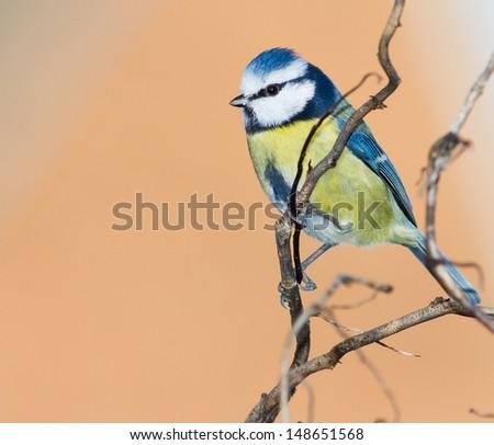 Blue Tit (Parus caeruleus} perched on a twig. - stock photo