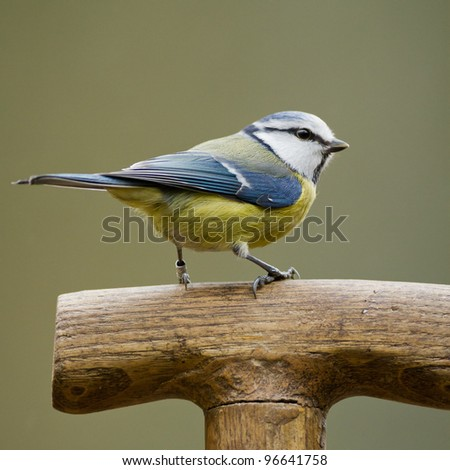 Blue tit sits on a shovel - stock photo