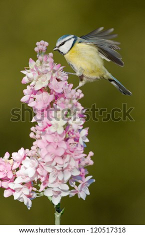 Blue tit sits on top off a pink lilac flower - stock photo