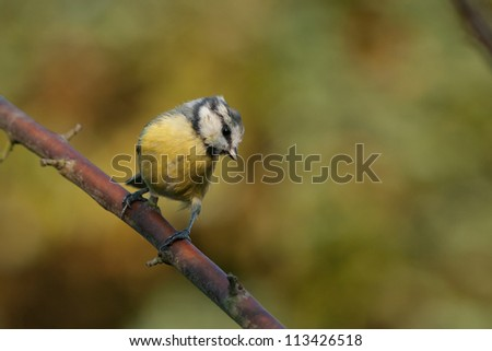 Blue tit sitting on a branch looking down. Beautiful autumn colors on the background.