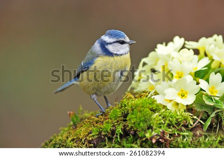 Blue tit standing next to primrose - stock photo