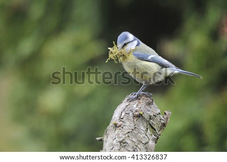 Blue tit when nesting