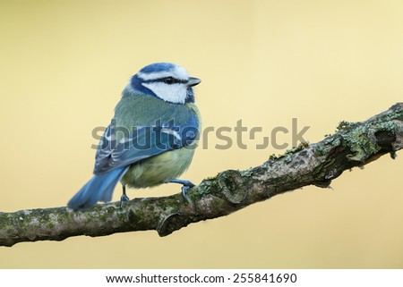 Blue tit with a beautiful background  - stock photo