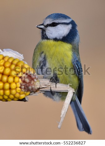 blue tit with ear of corn