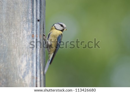 Blue tit with prey for feeding.
