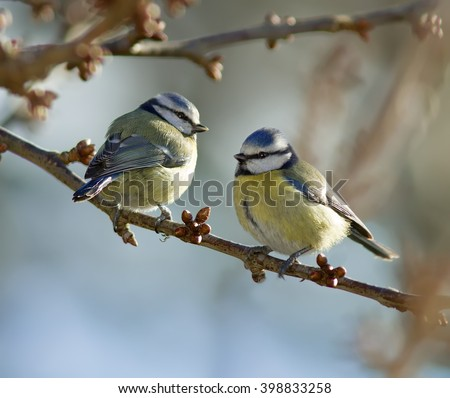 Blue Tits on a branch. - stock photo