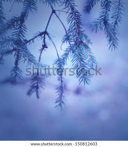 Blue toned pine branches