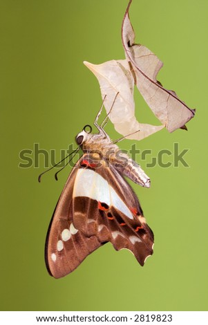 Blue triangle butterfly emerged from its chrysalis draying wings - stock photo