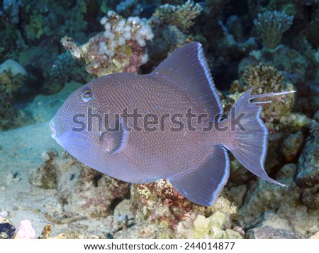 Blue triggerfish in red sea