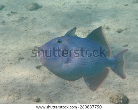 Blue triggerfish (Pseudobalistes fuscus) tropical wish swimming in the sea underwater, selective focus on eye, shallow depth of field - stock photo