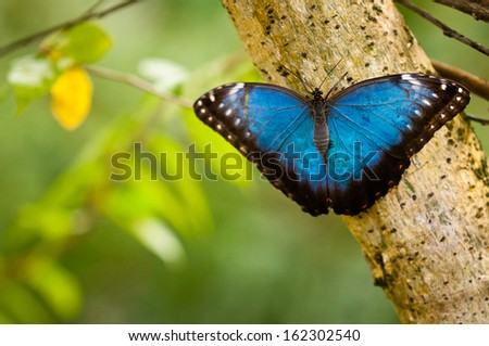 Blue tropical butterfly in the jungle - stock photo