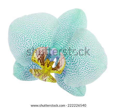 Blue tropical orchid flower isolated on white - stock photo