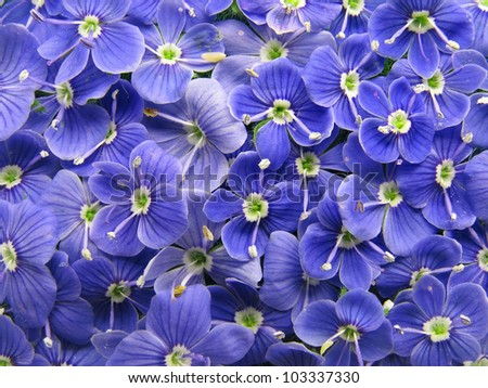 Blue veronica flowers closeup