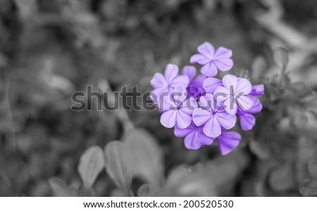 blue ,violet ,purple  flowers on black&white background - stock photo