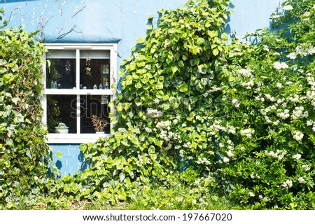 Blue wall of a cottage with climbing shrubs - stock photo