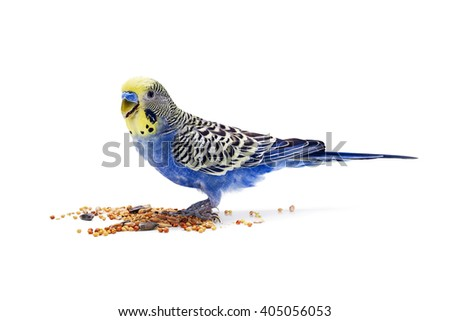 Blue wavy parrot eats food on white background