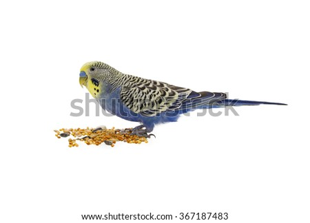 Blue wavy parrot on a white background