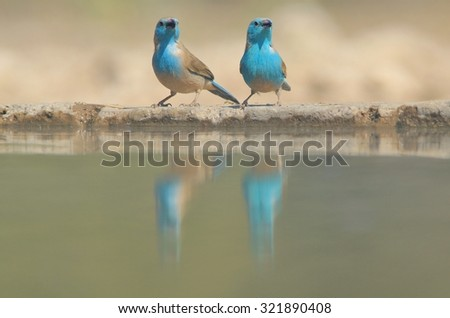 Blue Waxbill - African Wild Bird Background - Beauty in Small Packages - stock photo
