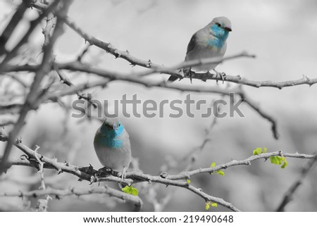 Blue Waxbill - African Wild Bird Background - Innocent Beauty in Color (Selective Coloring on Black and White) - stock photo