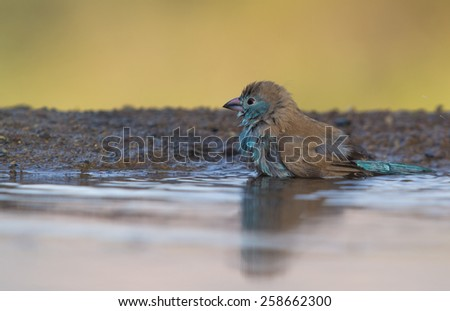Blue Waxbill Bathing - stock photo