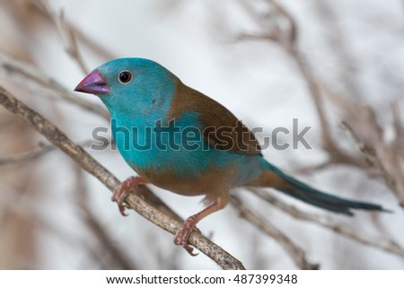 Blue waxbill bird from Africa perched on a branch