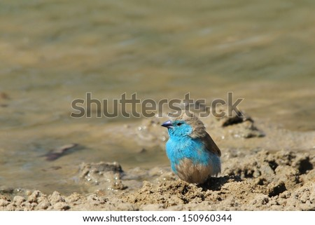 Blue Waxbill - Wild and Free Birds from Africa - Posing perfect plumage of color - stock photo