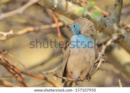 Blue Waxbill - Wild Bird Background from Africa - Animal Kingdom and her avian beauties of color in freedom of life. - stock photo