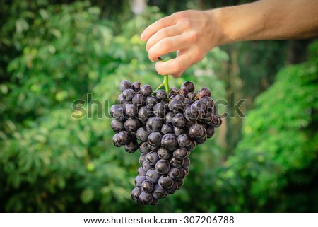 Blue wet Isabella grapes bunch isolated on white background as package design element - stock photo