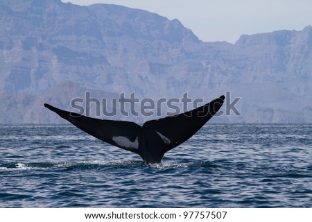 Blue whale diving, Sea of Cortez, Baja California, Mexico