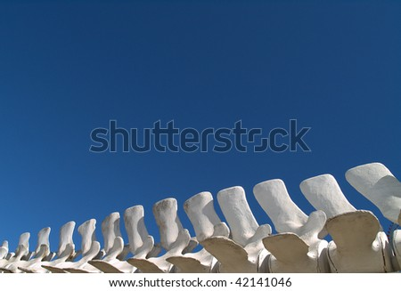 Blue Whale vertebrae cleaned and sun bleached on display at the La Paz Mexico Whale Center.  These remains were recovered from a carcass of a whale that died naturally. - stock photo