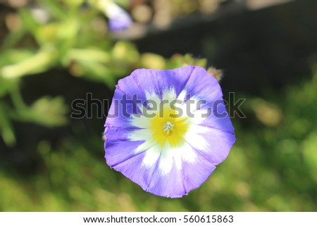 Blue white yellow dwarf morning glory stock photo royalty free blue white and yellow dwarf morning glory flower or bush morning glory mightylinksfo