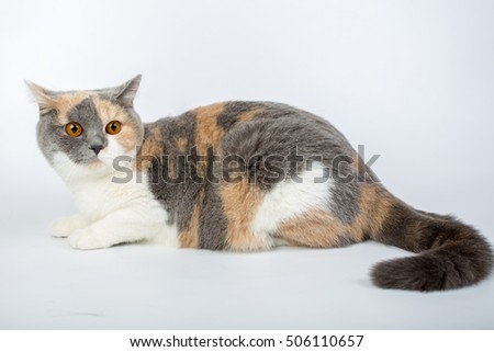 blue-white-red-haired British cat isolated on a white background, studio photo