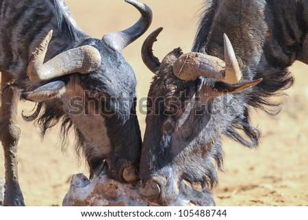 Blue Wildebeest. - stock photo