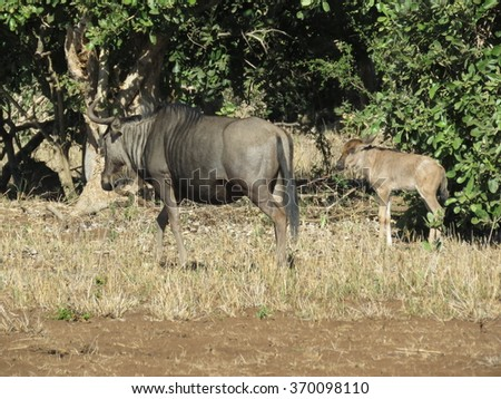Blue wildebeest. - stock photo