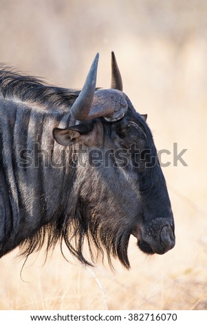 Blue wildebeest antelope in the South Luangwa National Park, Zambia. The concentration of animals around the Luangwa River is among the most intense in Africa. - stock photo