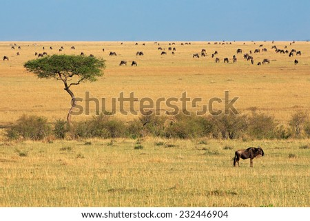 Blue wildebeest (Connochaetes taurinus) and tree, Masai Mara National Reserve, Kenya - stock photo