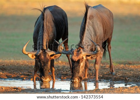 Blue wildebeest (Connochaetes taurinus) drinking water, Kalahari desert, South Africa  - stock photo